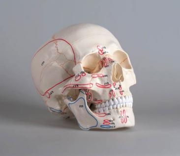 Schädelmodell mit Muskelmarkierung