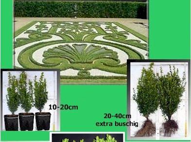 Buchsbaum-Paket 50 Stück, Größe 10-20 cm - Vorschau