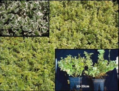 Weiss-Grüner Spindelstrauch-Paket, 25 Stück - Vorschau