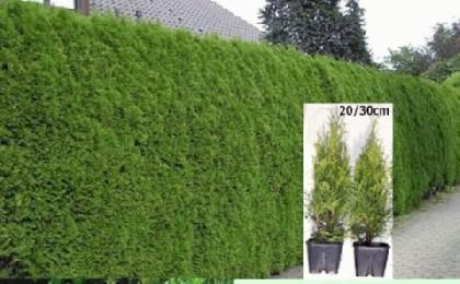 smaragd lebensbaum paket 50 st ck gr e 20 40 cm kaufen bei. Black Bedroom Furniture Sets. Home Design Ideas