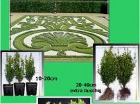 Buchsbaum-Paket 50 Stück, Größe 10-20 cm