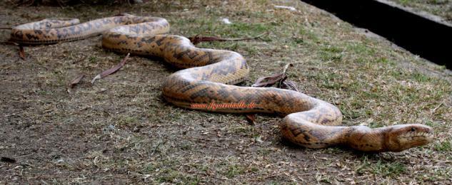 Riesen Python Schlange als Figur oder Reptilien Deko