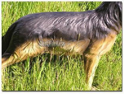 Schäferhund Dekofigur lebensgroß Figur Gartenfigur - Vorschau 3