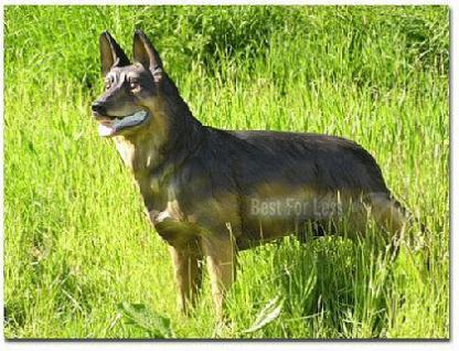 Schäferhund Dekofigur lebensgroß Figur Gartenfigur - Vorschau 2