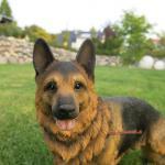 Deutscher Schäferhund Figur Deko Statue lebensecht
