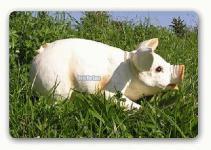 Schwein mit Fleken Dekofigur oder Werbefigur