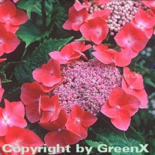 Bauernhortensie Kardinal 60-80cm - Hydrangea macrophylla - Vorschau