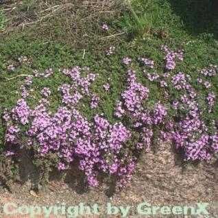 Zitronenquendel - Thymus serpyllum - Vorschau