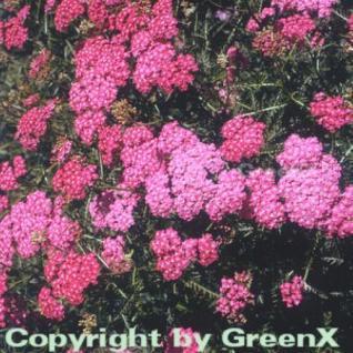 Schafgarbe Kelwayi - Achillea millefolium - Vorschau