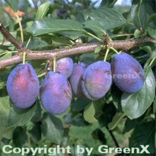 Pflaume Stanley 60-80cm - Prunus domestica - Vorschau