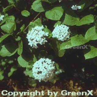 Koreanischer Duftschneeball 30-40cm - Viburnum carlesii - Vorschau