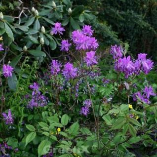 Kanadische Azalee 20-25cm - Rhododendron canadense - Vorschau