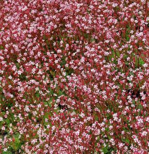 Porzellanblümchen Clarence Elliot - Saxifraga urbium - Vorschau