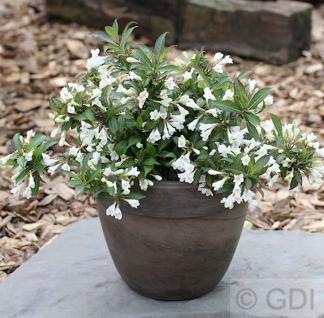 Weigelie Black and White 25-30cm - Weigela florida - Vorschau