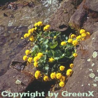 Sumpfdotterblume Multi - Caltha palustris - Vorschau