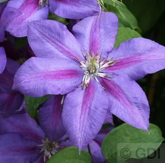 Waldrebe Mrs Nelly Thompson 40-60cm - Clematis - Vorschau