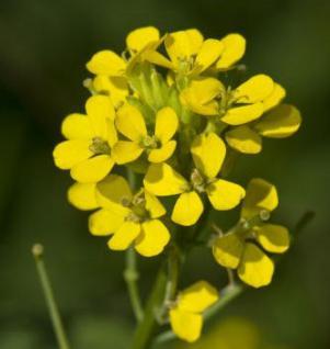 Goldlack Yellow Bird - Erysimum cheir - Vorschau