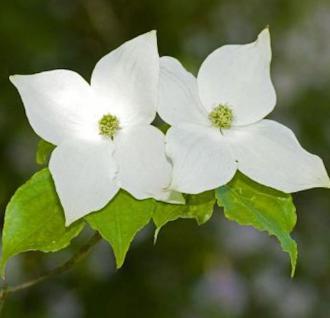 Japanischer Blumenhartriegel 80-100cm - Cornus kousa - Vorschau
