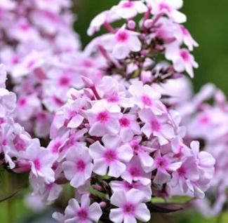 Hohe Flammenblume Landhochzeit - Phlox Paniculata - Vorschau