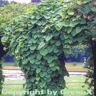 Pfeifenwinde 100-125cm - Aristolochia macrophylla - Vorschau