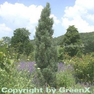 Säulenkiefer 100-125cm - Pinus sylvestris - Vorschau