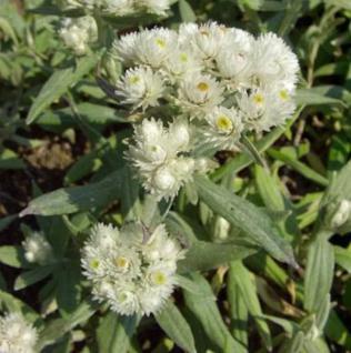 Perlkörbchen - Anaphalis margaritacea - Vorschau