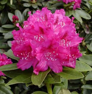 Großblumige Rhododendron Erich 30-40cm - Alpenrose - Vorschau