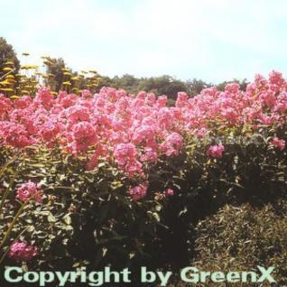 Hohe Flammenblume Würtembergia - Phlox Paniculata - Vorschau