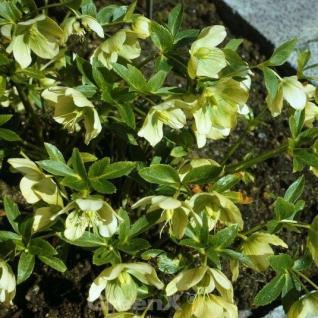 Korsika Nieswurz - Helleborus lividus - Vorschau