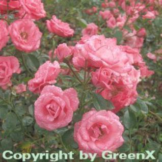 Floribundarose Bella Rosa 30-60cm - Vorschau