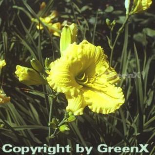 Taglilie Stella d Oro - Hemerocallis - Vorschau