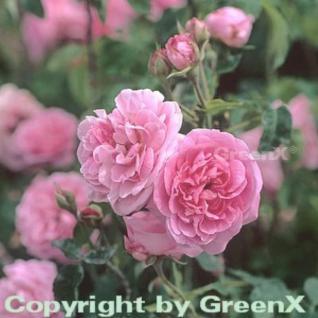 Englische Rose Gertrude Jekyll® 30-60cm - Vorschau
