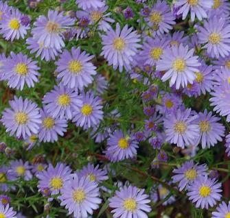 Myrtenaster Blue Wonder - Aster ericoides - Vorschau