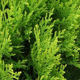 Gelber Zwerglebensbaum 25-30cm - Thuja orientalis Aurea Nana - Vorschau
