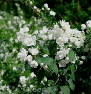 Gefüllter Gartenjasmin 80-100cm - Philadelphus - Vorschau