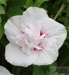 Hochstamm Garteneibisch China Chiffon 60-80cm - Hibiscus - Vorschau