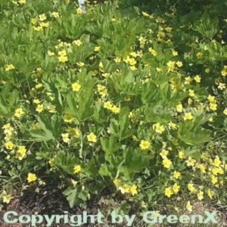 Gelapptblättrige Waldsteinie - Waldsteinia geoides - Vorschau