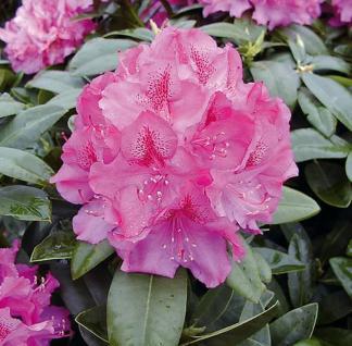 Großblumige Rhododendron Constanze 30-40cm - Alpenrose - Vorschau