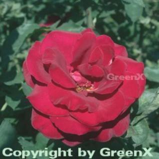 Floribundarose Duftzauber® 30-60cm - Vorschau