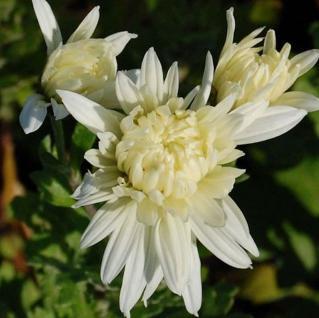 Winteraster Larry - Chrysanthemum hortorum - Vorschau