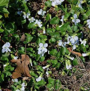 Pfingst Veilchen Freckles - Viola sororia - Vorschau