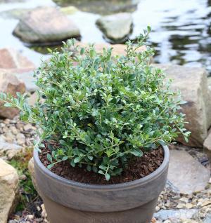 Löffel Ilex Dark Green 40-50cm - Ilex crenata - Vorschau