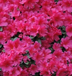 Japanische Azalee Diamant Rosa 15-20cm - Rhododendron obtusum - Zwerg Alpenrose - Vorschau