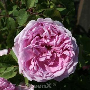 Historische Rose Jacues Cartier 30-60cm - Vorschau