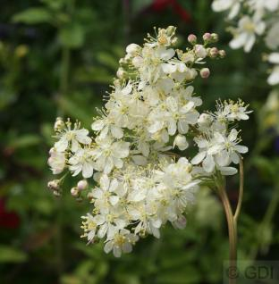 Kleines Mädesüß - Filipendula vulgaris - Vorschau