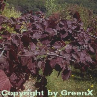 Großfrüchtige Waldhasel Rotblättrige Zellernuss 60-80cm - Corylus avellana - Vorschau