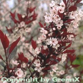 Hochstamm Zwergblutpflaume 60-80cm - Prunus cistena - Vorschau