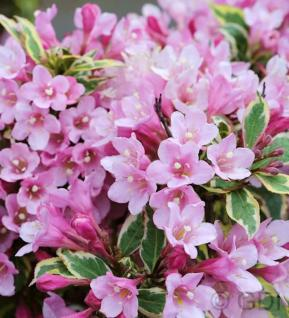 Weigelie Magical Rainbow 30-40cm- Weigela florida - Vorschau