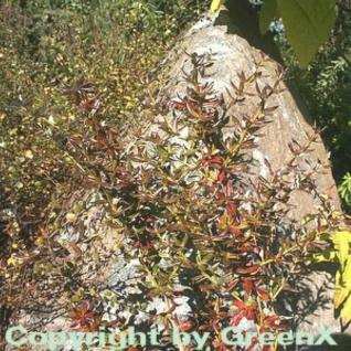 Immergrüne Kissenberberitze Jytte 60-80cm - Berberis candidula - Vorschau