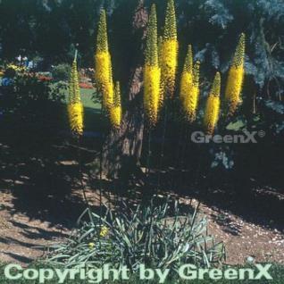 Gelbe Steppenlilie - Eremurus stenophyllus - Vorschau